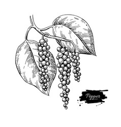 Black pepper plant branch drawing vector
