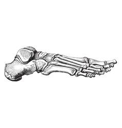Bones of the foot vintage vector