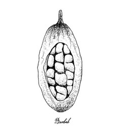 Hand drawn of baobab or adansonia fruits on white vector