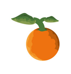 isolated orange fruit vector image