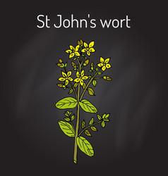 st john s wort hypericum perforatum medicinal vector image