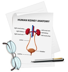 Diagram showing human kidney anatomy on paper vector