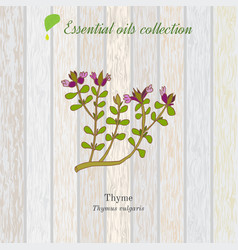 Thyme essential oil label aromatic plant vector