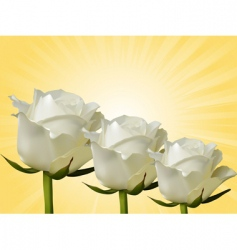 white roses and yellow background vector image