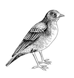 Desert lark isolated on white background vector