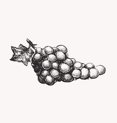 Grapes ink line draw vector