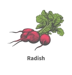 Hand-drawn ripe red radish with green tops vector