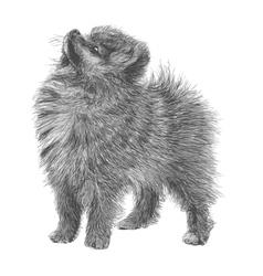 Pomeranian 02 vector image
