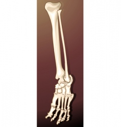 bones vector image