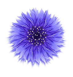 Blue cornflower on white background vector