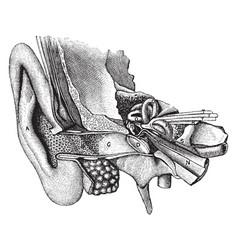 General view of organ of hearing vintage vector