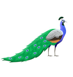peacock bird isolated on a white background vector image