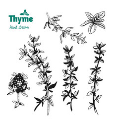 Thyme twigs and flowers hand drawn vector