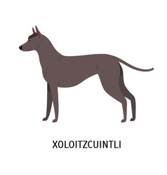 Xoloitzcuintli or xolo lovely cute mexican vector