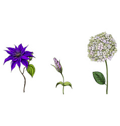 set with phlox clematis and bud eustoma flowers vector image