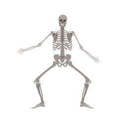 Human skeleton standing with legs bent and arms vector