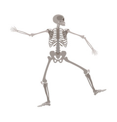human skeleton standing on one leg with arms apart vector image