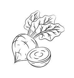 Hand drawn beetroot sketches vector image