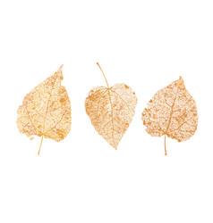 Set golden leaves skeletons fallen foliage vector