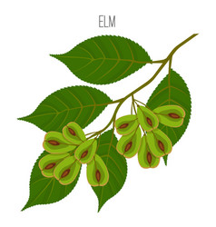 Elm leaves with serrate margins fruit round wind vector