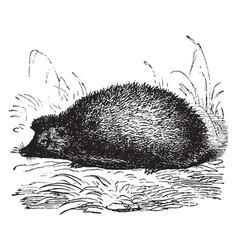 Hedgehog vintage vector