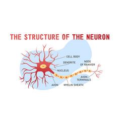 structure brain neuron vector image