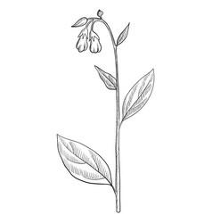 drawing comfrey vector image