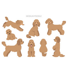 Medium poodle clipart different poses coat colors vector