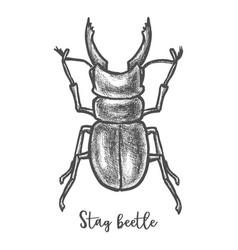 Stag beetle sketch or cervus lucanus vector