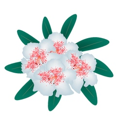 White Rhododendron with Green Leaves vector image