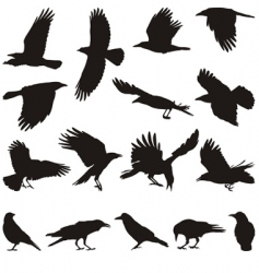 carrion crow vector image vector image