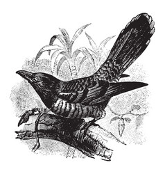 Channel billed cuckoo vintage vector
