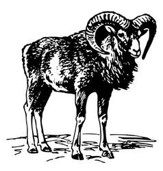 mouflon vector image