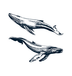 two blue and humpback whales vector image