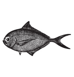 Atlantic pomfret vintage vector
