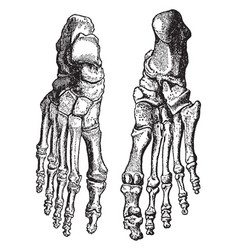 Bones of the feet vintage vector