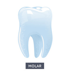 Flat molar on a white vector