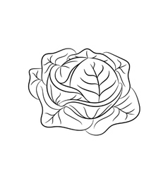 Hand drawn cabbage sketches on white background vector image