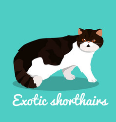 exotic shorthairs kitten on sky blue background vector image vector image
