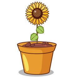 sunflower in clay pot vector image
