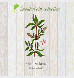 Gum rockrose essential oil label aromatic plant vector