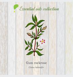 Gum rockrose essential oil label aromatic plant vector