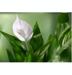 Flower white anturium vector