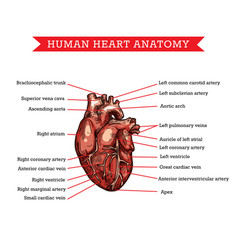 Human heart anatomy sketch medicine scheme vector