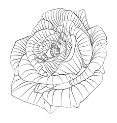 roses hand drawn flower vector image