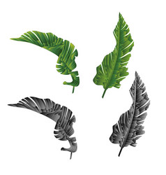 banana leaves natural and silhouette tropical vector image