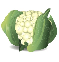 Cauliflower vector