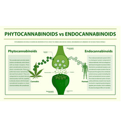 Phytocannabinoids vs endocannabinoids infographic vector