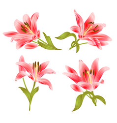 red lily lilium candidum flower with leaves vector image
