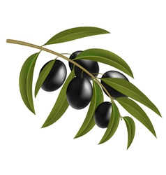 Black olives on branch vector image vector image